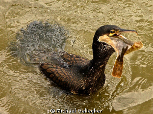 Lunch!! Cormorant with a freshly caught flounder on the R... by Michael Gallagher